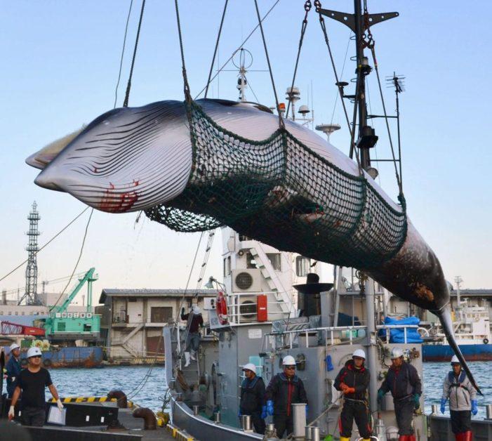 Il Giappone lascia l'Iwc e riprende la caccia alle balene per scopi commerciali.